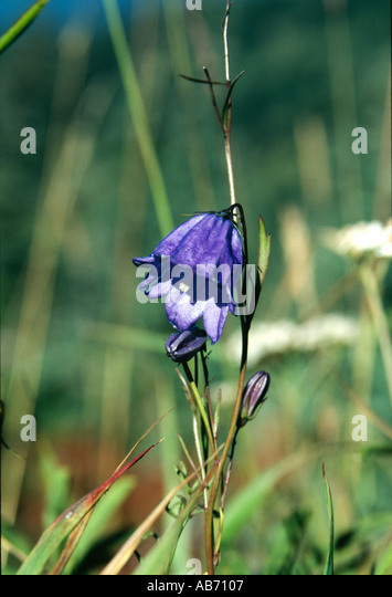 A Bluebell or Wild Hyacinth Endymion nonscriptus blooms on a mountain ridge Olympic National Park COPYRIGHT DUANE - Stock Image