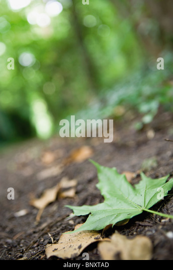 Fallen green maple leaf on forest floor - Stock Image
