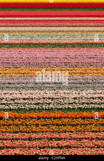 Dutch tulip fields in full bloom next to The Keukenhof Garden in Lisse, Holland, The Netherlands. - Stock-Bilder