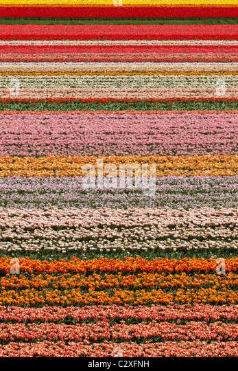 Dutch tulip fields in full bloom next to The Keukenhof Garden in Lisse, Holland, The Netherlands. - Stock Image