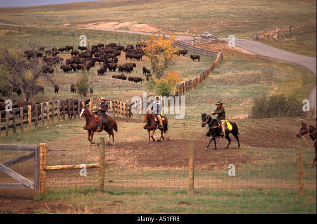 american cowboys custer state park south dakota American annual buffalo roundup - Stock Image