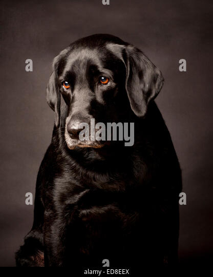 Thoughtful Shy Black Labrador.  Portrait in a black studio background. - Stock Image