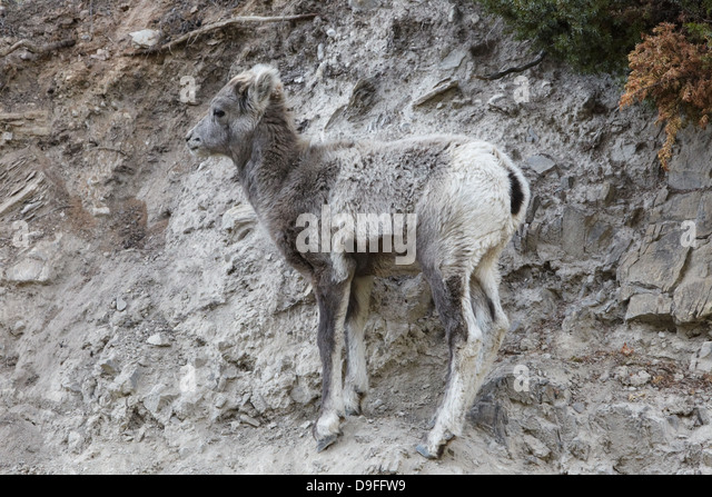 the background information of the bighorn sheep ovis candensis Not made, but this information for desert bighorn sheep would also apply to the peninsular bighorn sheep dps distribution general desert bighorn sheep occur in the desert mountain ranges.