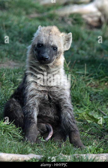 Hyena Offspring Sand Dab Stock Photos ...