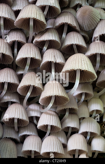 Angel's Bonnet Mycena arcangeliana gilled fungi on stump - Stock Image