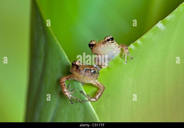 Netherlands, Windwardside, Saba Island, Dutch Caribbean. Whistling Tree Frog ( Eleutherodactylus johnstonei ) Heliconia - Stock Image