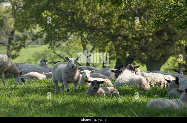 Preston, UK. 11th May, 2017. Sheep take to the shade of a hedge as temperatures hit 20 degrees centigrade near Garstang, - Stock Image