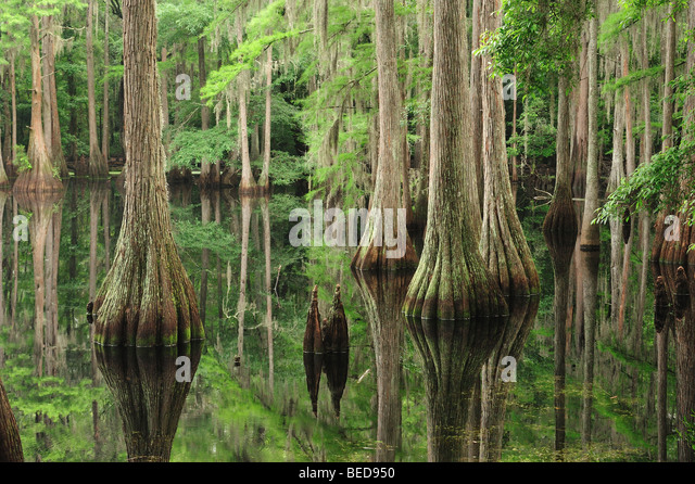 Bald cypress, Taxodium distichum, Lake Bradford, Florida - Stock Image