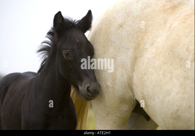 White horse of the Camargue -- mother and colt - Stock Image