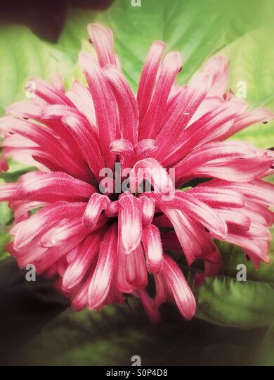 Pink tropical flower - Stock Image