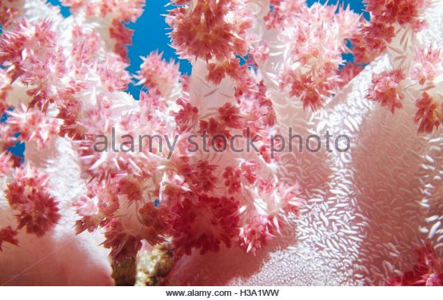pink soft coral closeup - Stock Image