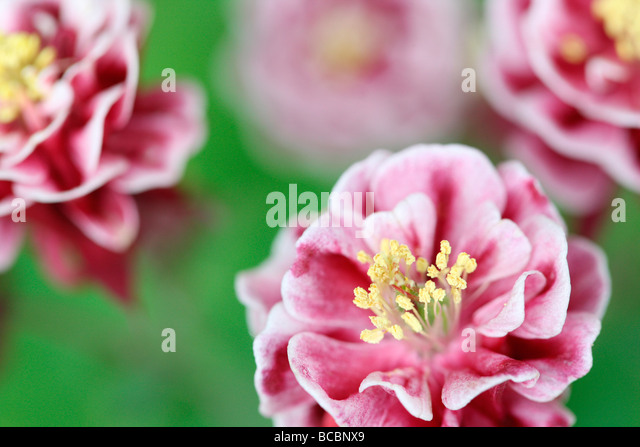 beautiful double red and white aquilegia fine art photography Jane Ann Butler Photography JABP486 - Stock Image
