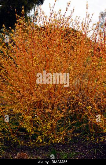 Cornus Sanguinea Midwinter Fire Stock Photos Amp Cornus