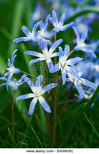 Chionodoxa - Glory of the snow - Stock Image