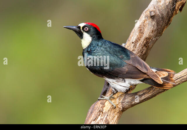 Acorn WoodpeckerMelanerpes formicivorusSanta Rita Mountains, Santa Cruz County, Arizona, United States14  May   - Stock-Bilder