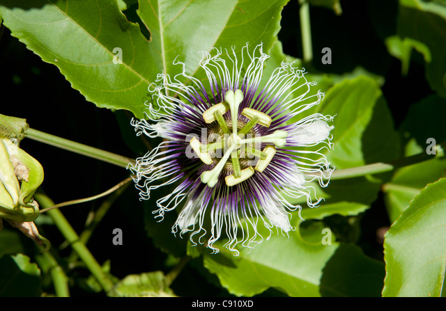 The Netherlands, Oranjestad, Sint Eustatius Island, Dutch Caribbean. Flower in Botanical Garden. - Stock Image