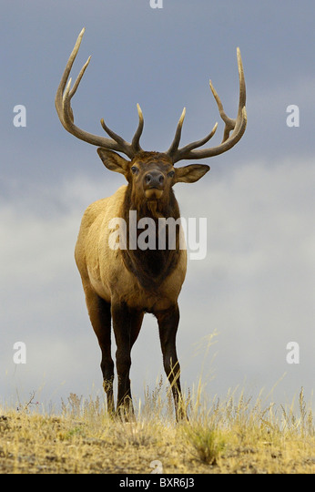 A large Bull Elk close up on a ridge as night falls in Yellowstone National Park. - Stock Image
