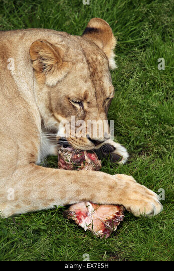 Czech Lion Stock Photos Amp Czech Lion Stock Images Alamy