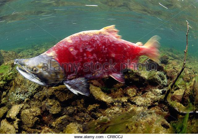 A sockeye salmon swims upstream to spawn, Wood-Tikchik State Park, Alaska, USA - Stock Image