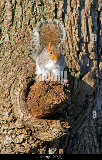 Eastern Gray Squirrel in Tree - Stock Image