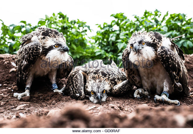 Jedburgh, Scottish Borders, UK. 10th July 2016. Six week old Osprey chicks are ringed by a licensed ornithologist - Stock Image