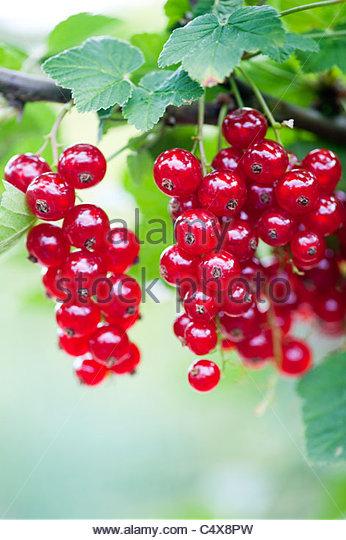 Redcurrant 'jonkheer van tets' berries on a bush - Stock Image
