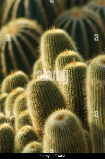 Parodia leninghausii, Yellow tower cactus, massed upright succulent plants. - Stock Image