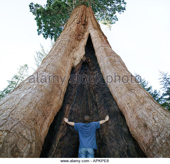Giant Sequoia tree. (Sequoia National Park, California, USA) - Stock-Bilder