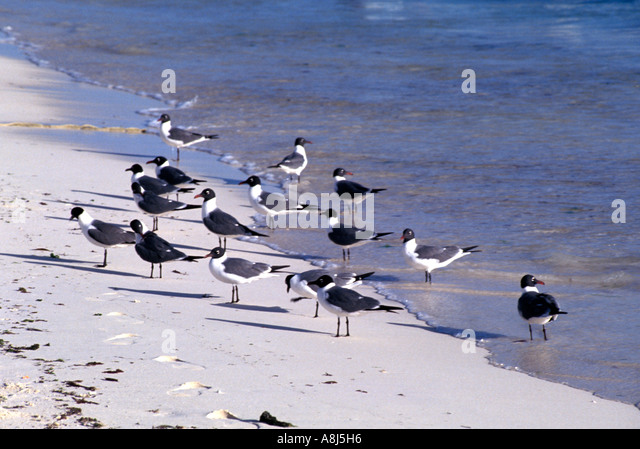 Shorebirds seagulls gulls standing on beach - Stock Image