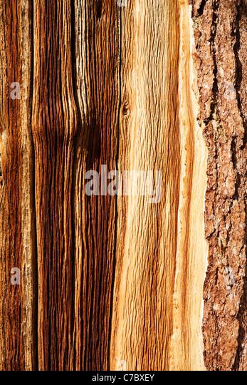 Detail of bristlecone pine bark, Inyo National Forest, White Mountains, California, USA - Stock-Bilder