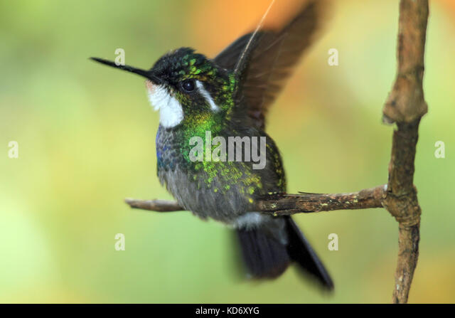 White-throated Mountain-gem (Lampornis castaneoventris) on a Branch, about to Take Off. Boquete, Panama - Stock Image
