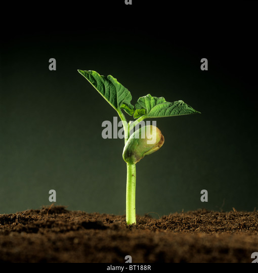Green bean (Phaseolus vulgaris) seedling with cotyledon food reserve and first true leaves - Stock Image