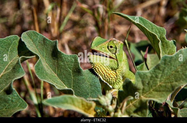 Chameleon, Chamaeleonidae, Uganda, Africa - Stock Image