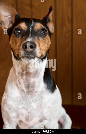 forward facing stoic tricolor Jack Russell Terrier sitting with eye contact in home in front of wood paneling background - Stock Image