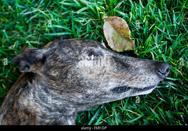 close up profile head of brindle Greyhound dog laying peacefully in rich long green grass with one single leaf - Stock Image