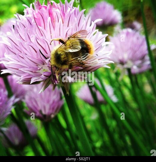 Bumble bee on a purple chive flower. - Stock Image