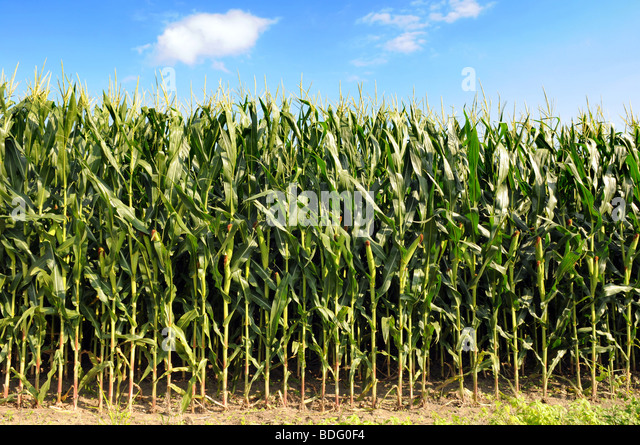 Cornfield during sunny day with blue sky and clouds - Stock Image