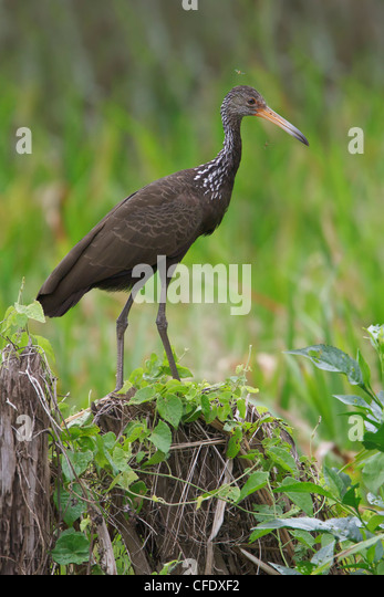 Limpkin (Aramus guarauna) perched on a branch in Peru. - Stock Image