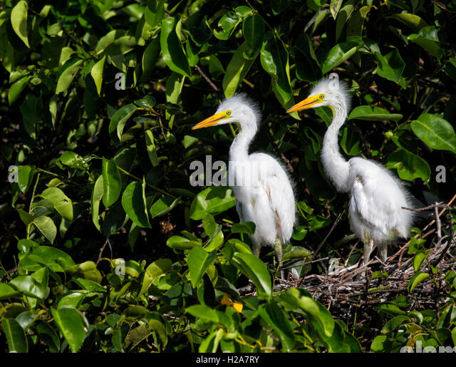 Sibling White Egret Chicks looking curiously around andalone on their nest after the departure of their parent after - Stock Image