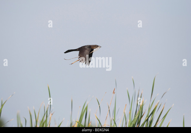 Great-tailed Grackle (Quiscalus mexicanus), female in flght with nesting material, Welder Wildlife Refuge, Sinton, - Stock Image