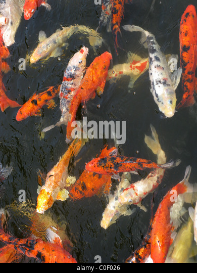 Japanese carp stock photos japanese carp stock images Koi fish swimming pool
