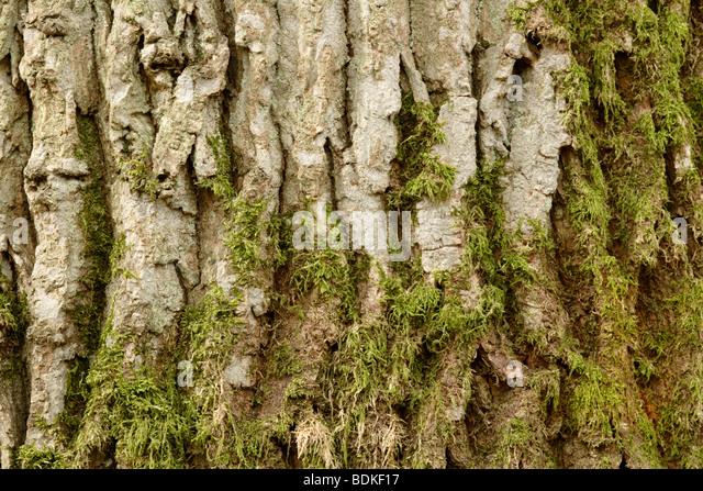Moss growing on Oak tree (Quercus robur) bark - Stock-Bilder