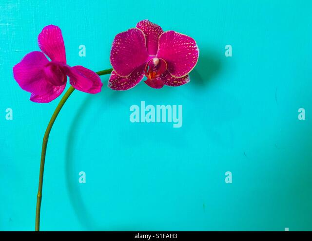 Beautiful dark pink orchid against trendy island paradise colour background - Stock-Bilder