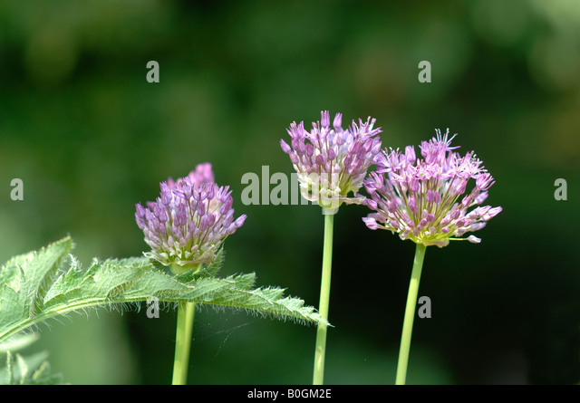 Alliums in May - Stock Image