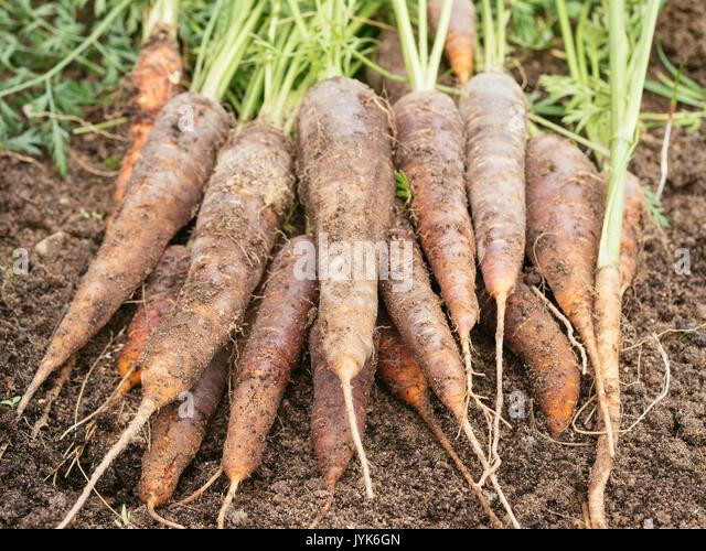 Freshly harvested organic purple carrots on soil - Stock Image