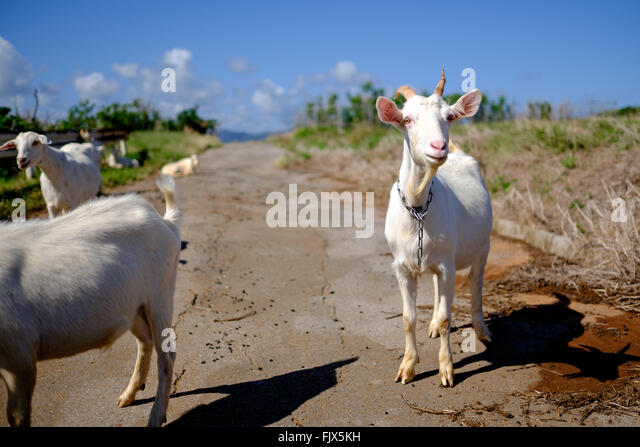Goats Standing On Street - Stock Image