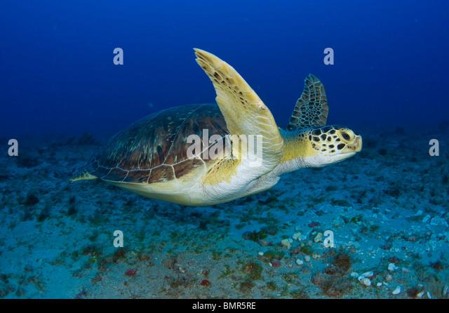 Female Green Sea Turtle (Chelonia mydas) feeding on algae underwater in Juno Beach, FL. - Stock Image