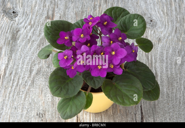 Saintpaulia, African Violet (Saintpaulia ionantha-Hybrid), potted plant with purple flowers on wood. - Stock Image