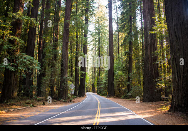 Road leading through the Avenue of the Giants, giant Redwood trees, Northern California, USA - Stock Image