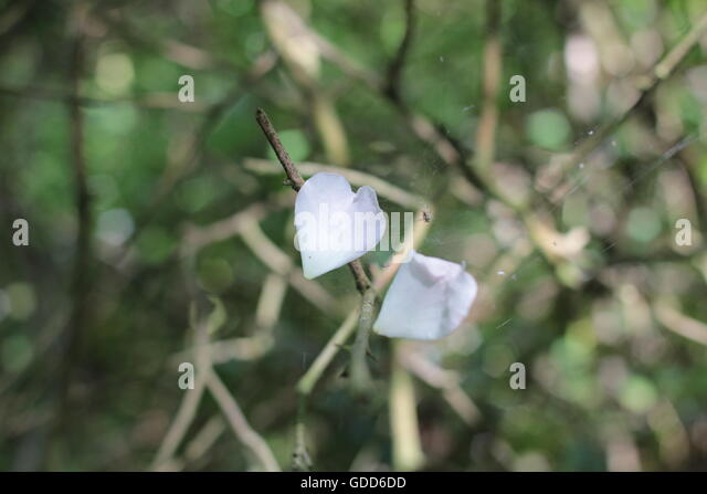 Heart shaped petal on spiders web - Stock Image
